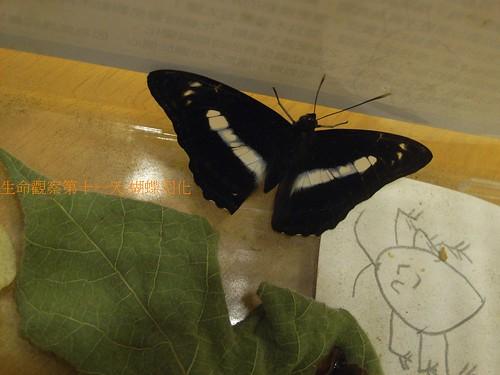 你拍攝的 蝴蝶羽化。