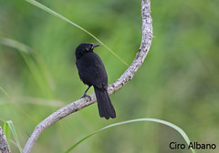 Forbes' Blackbird_Curaeus forbesi