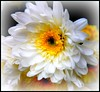Grace Too (Mark Faviell Photos) Tags: white flower macro yellow fave distillery awesomeblossoms