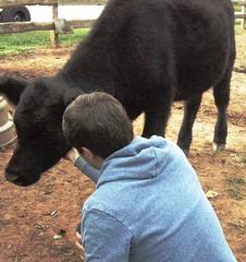 (m_kabza) Tags: virginia cow angus farm redoak farmanimals cornerstonefarm