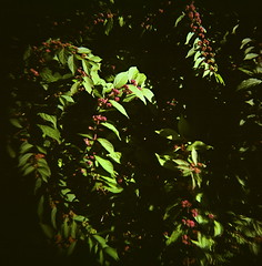 43960009 (The Greenery) Tags: film nature leaves holga bush berries outdoor shrub purpleberries colorholga color120