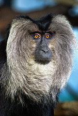Wise Guy (AllardSchager.com) Tags: holland netherlands animal zoo monkey rotterdam blijdorp nikon nederland 11 explore wiseguy 2008 primate aap gettyimages dierentuin zuidholland endangeredspecies animalportrait fuzzyhair southholland diergaarde baardaap macacasilenus i500 d80 wanderoe nikond80 aapnootmies platinumphoto aplusphoto ddd4 snorremans nikkor70300mmvr platinumheartaward liontailedmacaques vosplusbellesphotos allardone leeuwenstaartmakaak allard1 dolledokadonderdag baardmans overmatigegezichtsbeharing allardschagercom