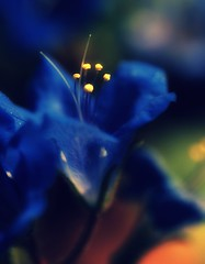 BLUE FOR YOU. (Neal.) Tags: blue orange flower macro yellow closeup picnic bright petal stamen blurryness brighty theunforgetablepictures theunforgettablepictures