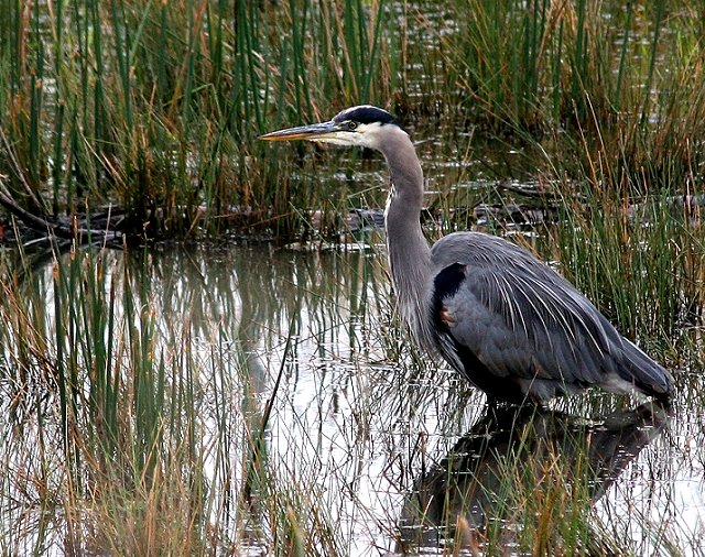 Heron in Wetland