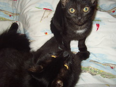 Montgomery & Mortimer Marsbar (lame-jane) Tags: cats kittens mortimer monty