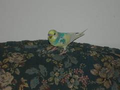 FRIEND FINE budgie (MyBudgie) Tags: budgie parakeet mybudgie