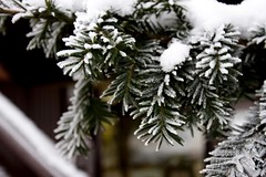 Iced up Branches (rknickme) Tags: snow tree germany titisee