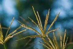 Grass Seed in the Setting Sun (Craig Jewell Photography) Tags: blue wild macro green nature grass yellow iso100 twilight bokeh dusk grow noflash seeds growth f63 105mm sigma105mm 1125sec sigma105mmf28exmacro11 20081217173146imgp9986 craigjewellphotography