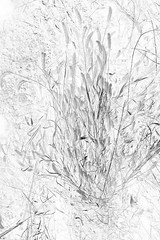 Japanese pampas grass (chihilo) Tags: light shadow bw plant flower fleur leaves japan canon leaf   japon  japanesepampasgrass  machida