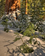 Mariposa Grove, Yosemite, CA.  April 25, 2009 (Robert Pearce Photography) Tags: california trees snow landscape nationalpark sierra yosemite seqouia mariposagrove yosemiteblog nikond200 yosemiteblogcom giantseqouia robertpearce sierrasolstice robertpearce