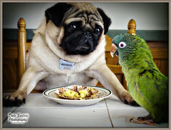 Happy Birthday Daddy (whatUthinkin) Tags: portrait dog pet bird beautiful kids puppy bristol children interestingness mort pug indiana parrot explore bubba elkhart bestfriends southbend goshen mishawaka happymothersday naturesfinest happyfathersday bluecrownedconure explored happybirthdaydaddy everythingindiana pugable dalebarlowphotography