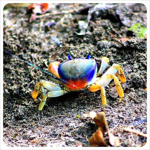Coloured crab in Cahuita Costa Rica