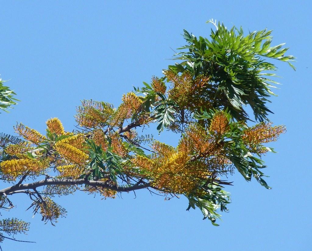 Australian Silver-oak tree (Grevillea robusta)