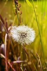 lively blowball (DASxTESAPECK) Tags: lively lwenzahn pusteblume blowball bearbeitung vellmar quirlig nathalierull