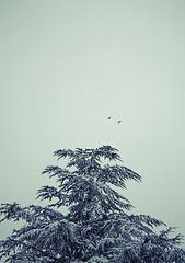 sway (helveticaneue) Tags: winter snow tree birds pine february 2008 ambler onmywalktowork blizzardo
