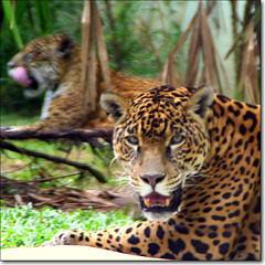 jaguar, so paulo (hadley coull) Tags: parque shadow wild brazil black nature beautiful animal brasil america canon square 350d zoo sopaulo wildlife south border drop beast zoolgico jaguar creature animais pintada ona pantera onca 200mm saopaolo canguu ar1 onapreta jaguarete itsazoooutthere yuaguarete