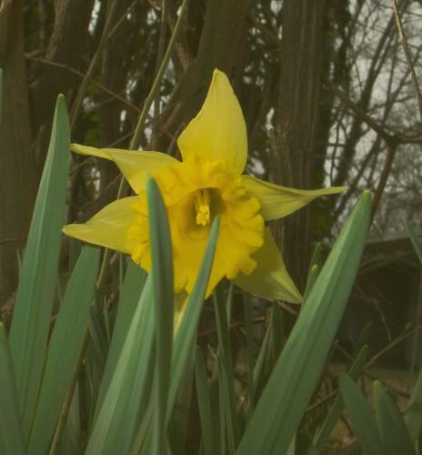 Daffodil, February 28, 2008