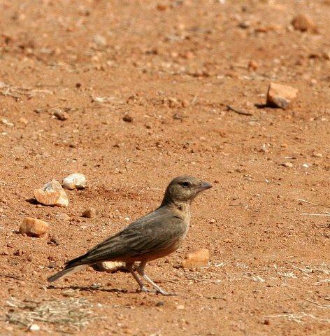 rufous-tailed lark,turahalli, 090308