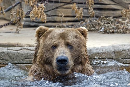 bear enjoys a dip in a hot tub