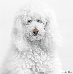 The Lost Yti (Johny Day) Tags: bravo hollywood portfolio onwhite standardpoodle yti flickrsbest canicheroyal mywinners abigfave johnyday articpoodle impressedbeauty johnyday azofdigitalediting beautifulldog fuzzymoment canadiandog johnydaystudioyahoocom bestlookingdog ldlportraits