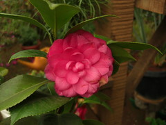 Camelia at Ooty