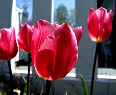 Pink for Spring I (Parrot Tulips) (mightyquinninwky) Tags: pink flowers friends white flower tree green rural fence geotagged petals spring pod dof tulips bokeh landscaping farm kentucky perspective award farmland driveway tulip bloom blooms pow fabulous frontyard backroads invite smalltown carport whitefence orton blooming smrgsbord newgrowth redbudtree westernkentucky concreteslab parrottulip unioncountykentucky ohiorivervalley parrottulips tristatearea bokehlicious pinkalicious guardaminegliocchi morganfieldkentucky superbmasterpiece zerofaves stateroad359 flowerwatcher geo:lat=37693338 1on1flowersphotooftheweek thebluegrassstate photophlow wholelotofflowers photographicpersonwharf agriculturalarea 1on1flowersphotooftheweekapril2008 geo:lon=8790572 shotwhilelisteningtodickspicks16gratefuldead} flickrsawesomeblossoms awesomeblossoms jasonpresser photographgarden flowers 1on12on2powpodfp 11223344556677 bestofformyspacestation