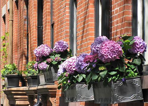 hydrangeas on Cranberry Street