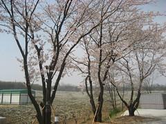 PU Cherry Blossom Entrance