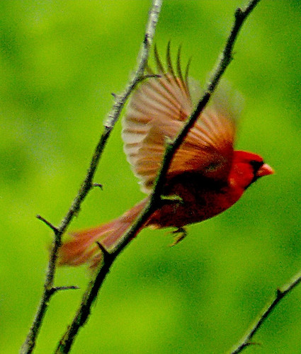 Female cardinal in flight - photo#22