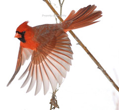 Dream Pose (tinyfishy) Tags: red bird flying inflight cardinal northern naturesfinest abigfave anawesomeshot flightpose onephotoweeklycontest