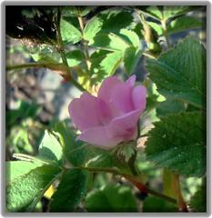 a wild rose (elisabethdahl in Greece) Tags: loveit summerflower abigfave alwayscomment5