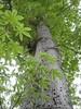 97.05.22平和國小吉貝木棉老樹DSCN0702