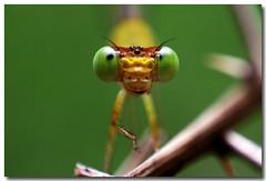 Hello... (Maheash Nelanka) Tags: macro green smile closeup eyes hand dragonfly srilanka ceylon faceit flickrific 400d tepasaste diamondheart anawesomeshot flickrbronzeaward diamondstars excapture superawesomebug goldstaraward styleofframepictures beautifulmonsters expressionphotographics