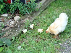Mother Hen (Svadilfari) Tags: family pet baby bird chickens chicken birds barn ma babies farm massachusetts country mother chick poultry chicks fowl hen farmanimal stables hens uxbridge babybirds babychicks babyanimals horsefarm babychickens ridingschool motherhen uxbridgema uxbridgemassachusetts azraelacres uxbridgemass ridingacamemy