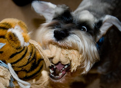 grrrrrrrr! (jonoakley) Tags: dog pet tongue canon hair toy nose eos miniature furry teddy teeth flash schnauzer biting plush jordy 400d