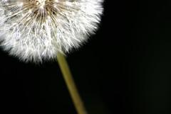 els pets:fàcil (visualpanic) Tags: white black flower macro nature outdoor flor natura dandelion sueños dreams makro 2008 bages juny silenci dientedeleón taraxacumofficinale dentdelleó somnis navarcles
