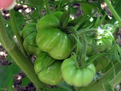 costoluto tomatoes ripening
