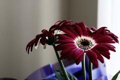 Gerbera again (Karrie J) Tags: gerbera daisy ef50mm18 hintofcolor coffeeshopactions
