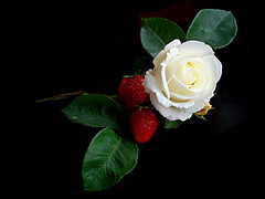 white_rose (elbfoto) Tags: red fab white black flower green rot nature rose strawberry natur grn blume schwarz erdbeere weis naturesfinest supershot imagepoetry elbfoto fantasticflower abigfave colorphotoaward frhwofavs excellentsflowers