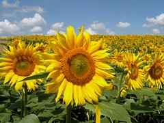sunflowers... (***irene***) Tags: flowers beautiful field yellow 2000 explore sunflowers sunflower 500 1500 1000 firstquality superaplus aplusphoto