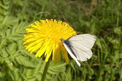 Frhstck (dragonfly86) Tags: butterfly schmetterling lwenzahn kohlweisling