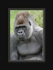 Bokito :-( (Arie van Tilborg) Tags: zoo rotterdam blijdorp escape gorilla westerngorilla naturescall specanimal bokito tilborg treeofhonor bokitoproof vosplusbellesphotos