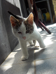 Wildcat (FriaLOve) Tags: pink summer brown white cute look cat out nose grey eyes kitten sweet outdoor walk ears prizren kosova kosovo wildcat stoneslab frialove