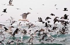 birds (ambervisionaire) Tags: ocean seagulls nature oregon coast pelican cannonbeach