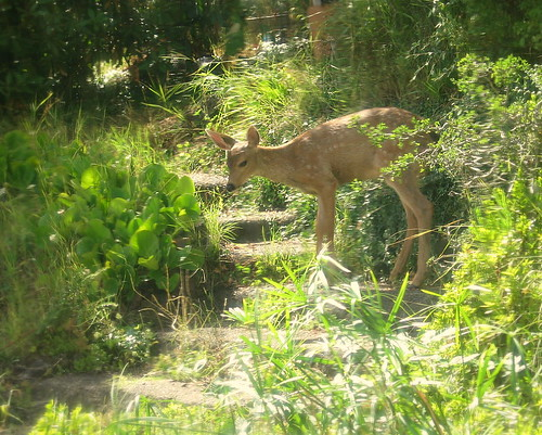 Wild fawn on the garden steps