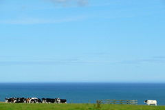 Didn't follow the herd... (archibaldo) Tags: sea sky field outside one cow alone cows herd stands