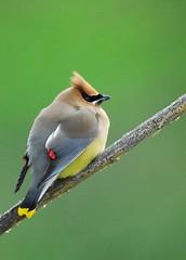 still life (brodmann's 17) Tags: bird nature oregon perch cedarwaxwing malheur nwr fotocompetitionbronze mygearandme mygearandmepremium