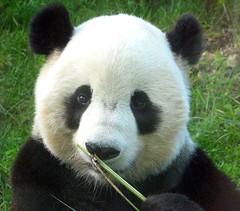 Boo-tai-naire!  -- 374 (RoxandaBear) Tags: panda sunday august bamboo tai dcist nationalzoo sniffing 2008 pandas giantpandas labordayholiday goback asiatrail
