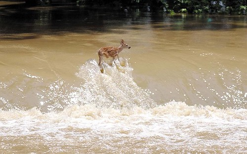 Fawn Struggles Against Fast Flowing White River by Grandma_Hippie.