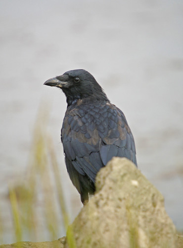 Carrion Crow. jpeg